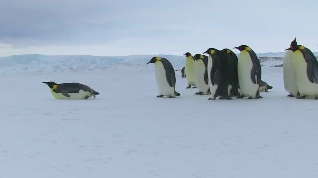 WS Side POV View of Group of Emperor penguins walking to left on snow / Dumont D'Urville Station, Adelie Land, Antarctica