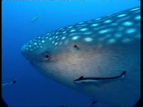 cu side view of head of whale shark, rhincodon typus, swimming with shoal of remoras, underwater view, australia - 共生関係点の映像素材/bロール