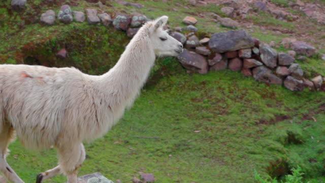 side view of llama walking on grass over mountain, mammal looking away while standing on cliff - cusco, peru - växtätare bildbanksvideor och videomaterial från bakom kulisserna