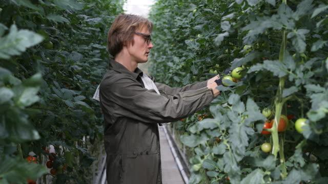 vídeos de stock, filmes e b-roll de vista lateral do agricultor masculino examinando plantas de tomate - plano americano