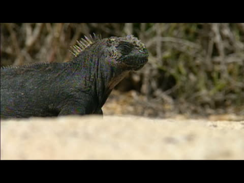 Side view of marine iguana (Amblyrhynchus cristatus) on beach / Galapagos Islands