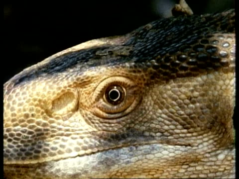 CU side view of Monitor Lizard, of face with mouth, nostril and eye, Kenya
