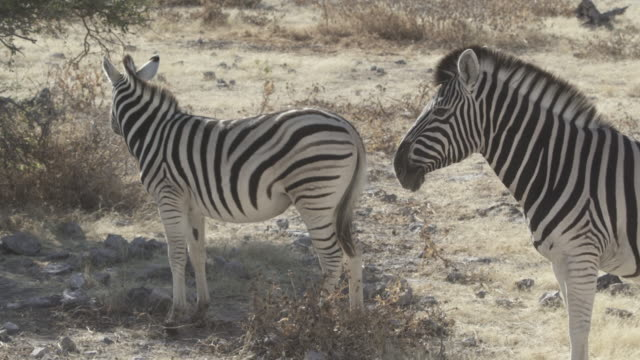 stockvideo's en b-roll-footage met side view of zebras at national park during sunny day - etosha national park, namibia - vachtpatroon