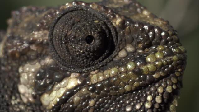 side-striped chameleon (trioceros bitaeniatus) looks around, mount kenya, kenya - animal markings stock videos & royalty-free footage