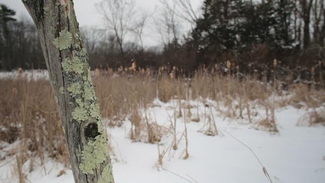 sideways pan, lichen on a dead tree in foreground, snowy winter landscape background - 葉状体点の映像素材/bロール