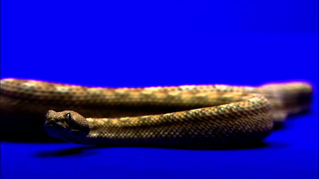 a sidewinder flicks his tongue as he slithers forward. - viper stock videos & royalty-free footage