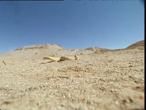 sidewinder moves towards camera, usa - tierhaut stock-videos und b-roll-filmmaterial
