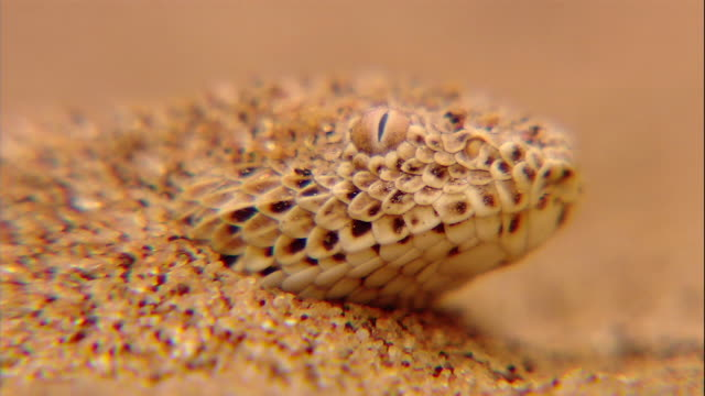 a sidewinder pokes its snout out of the sand in the namib desert. - viper stock videos & royalty-free footage