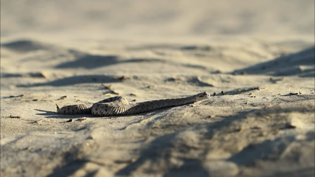 A sidewinder slithers across the desert floor.