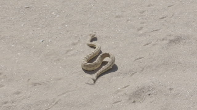 sidewinder snake moving across sand into shade - wilderness stock videos & royalty-free footage
