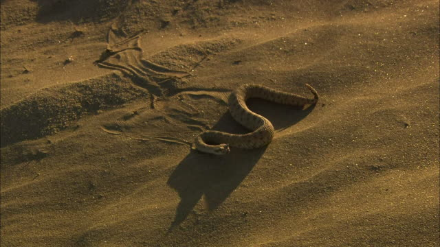 A sidewinder snake slithers across the sand.