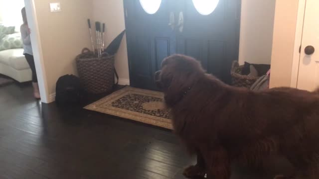 sierra and her giant newfoundland loves to play peek-a-boo. the only problem is, once samson gets excited about the game, nothing is safe. even... - peekaboo game stock videos & royalty-free footage