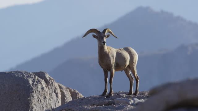 sierra bighorn sheep roaming open rocky path sunset mount langley - californian sierra nevada stock videos & royalty-free footage
