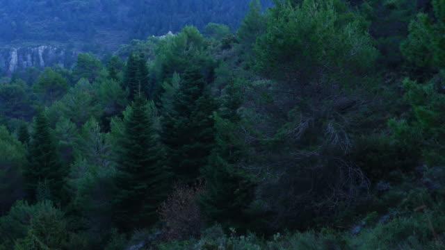 SPANISH FIR (Abies pinsapo), Sierra de las Nieves National Park, Málaga, Andalusia, Spain, Europe