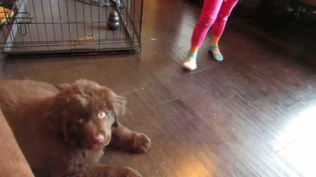 sierra plays with her new 10 week old newfoundland puppy samson. so cute! - week stock videos & royalty-free footage