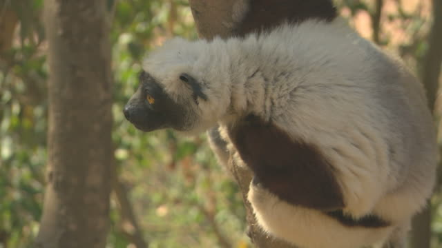 Sifaka Lemur looking HQ 4:2:2