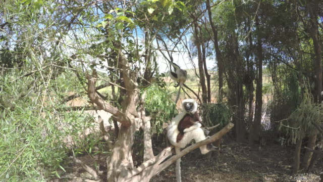 sifaka lemurs climbing a tree - earth goddess stock videos & royalty-free footage