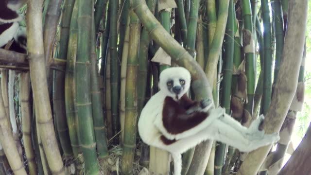 vídeos de stock e filmes b-roll de sifakas lemur in madagascar forest - bamboo plant