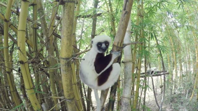 Sifakas Lemur in Madagascar forest