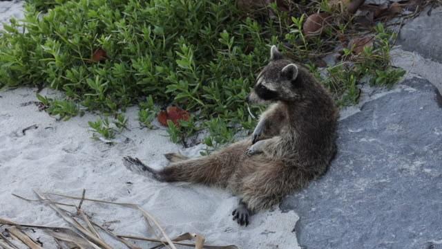 sighting funny raccoon in the key biscayne state park scratching belly. - florida us state stock videos & royalty-free footage