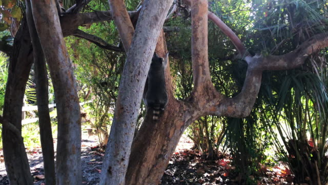 sighting raccoon family climbing tree in the key biscayne state park beach. - florida us state stock videos & royalty-free footage