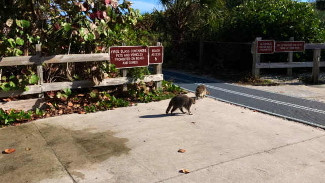 sighting raccoon family in the key biscayne state park beach in miami area. - florida us state stock videos & royalty-free footage