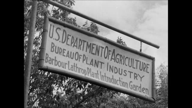 vidéos et rushes de sign 'u.s. dept. of agriculture.' vs farmer bamboo trees. farmers planting tung trees. leaves of tung tree. ford experimental plantation. ford... - bamboo plant