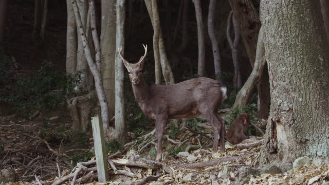 sika deer and japanese macaques in awaji island - primate stock videos & royalty-free footage