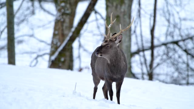 sika deer, cervus nippon, deer in winter - hirsch stock-videos und b-roll-filmmaterial
