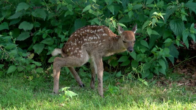 sika deer, cervus nippon, fawn pee - fawn stock videos & royalty-free footage