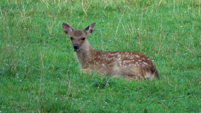 sika deer, cervus nippon, fawn - fawn stock videos & royalty-free footage