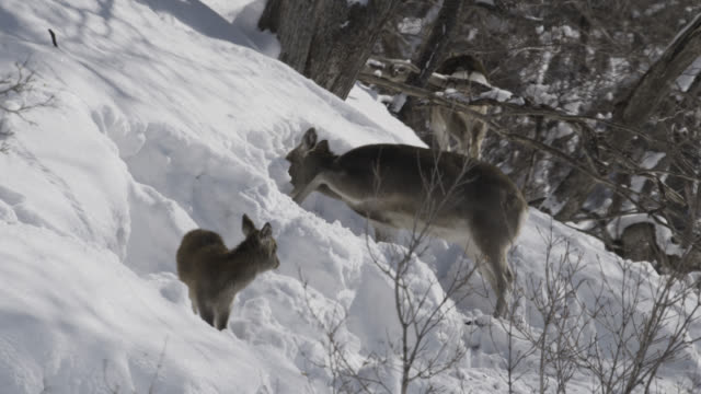 sika deer (cervus nippon) forages in snow, fawn struggles through deep snow. - deer family stock videos and b-roll footage