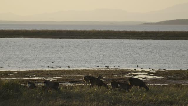 sika deer graze near coast, hokkaido, japan. - doe stock videos & royalty-free footage