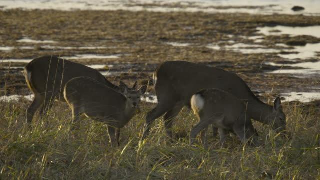 sika deer graze near coast, hokkaido, japan. - femmina di daino video stock e b–roll