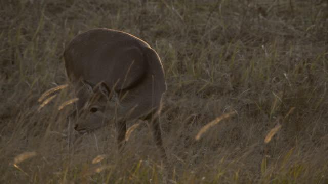 sika deer grazes at sunset, hokkaido, japan. - femmina di daino video stock e b–roll