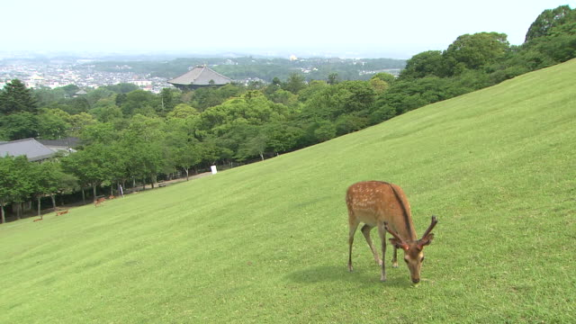 sika deer grazing at wakakusayama hill - hill stock videos & royalty-free footage