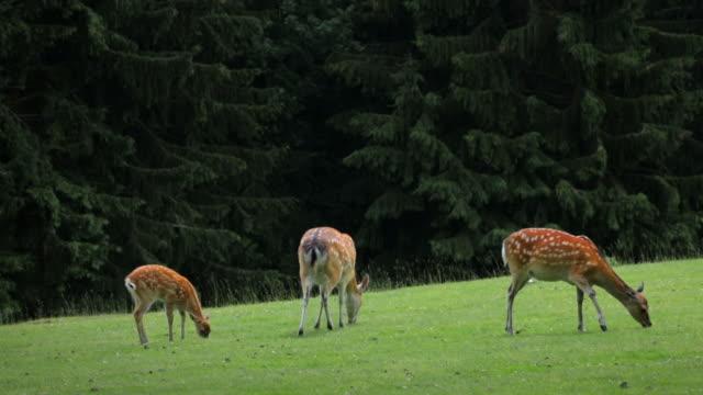 vídeos y material grabado en eventos de stock de ciervo sika herd - grupo pequeño de animales
