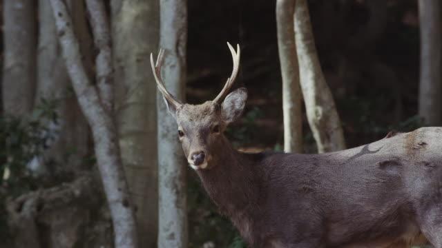 Sika deer in Awaji Island