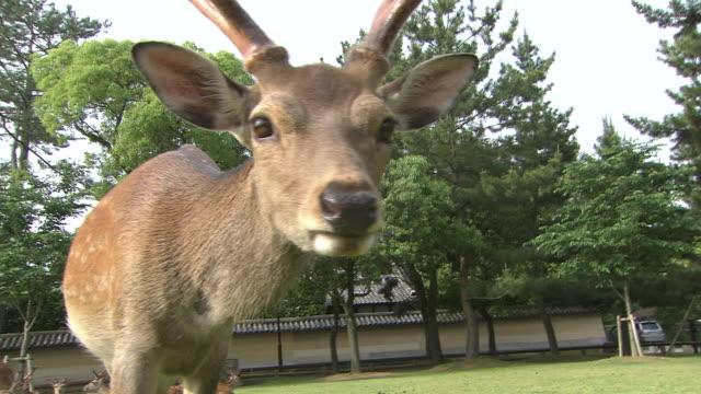 sika deer in nara, japan - nara prefecture stock videos and b-roll footage