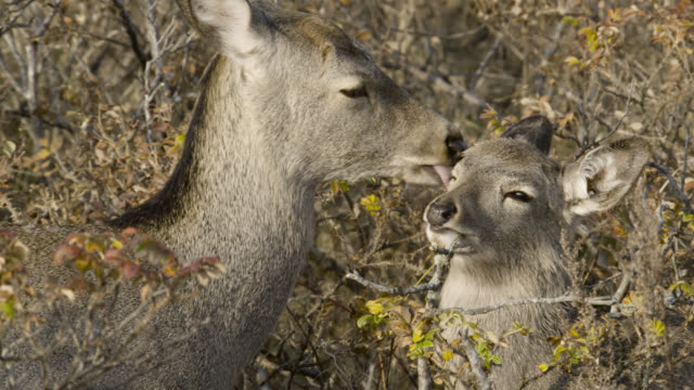 sika deer licks head of fawn, hokkaido, japan. - fawn stock videos & royalty-free footage