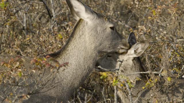 sika deer licks head of fawn, hokkaido, japan. - femmina di daino video stock e b–roll