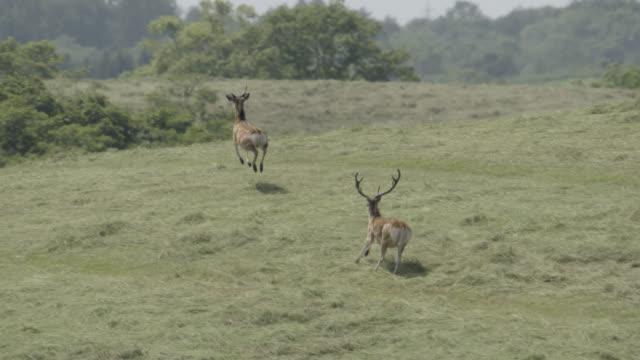 sika deer run across field, japan. - two animals video stock e b–roll
