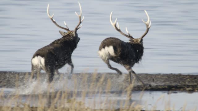 sika deer stag chases another away, hokkaido, japan. - 牡鹿点の映像素材/bロール