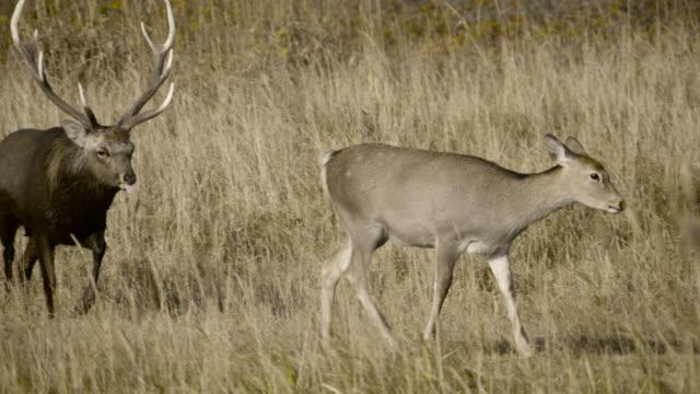 sika deer stag follows female, hokkaido, japan. - femmina di daino video stock e b–roll