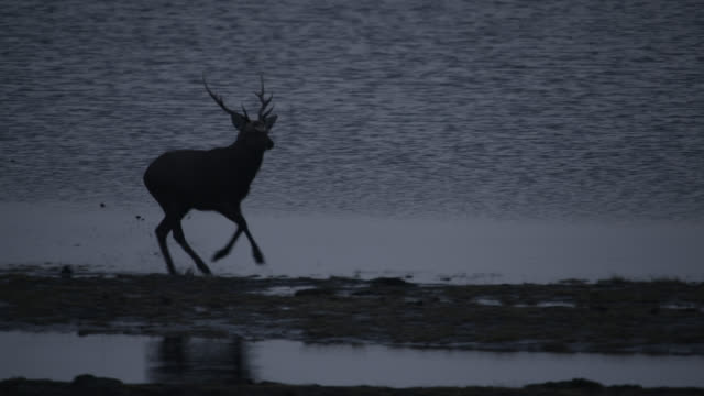 sika deer stag runs along beach, hokkaido, japan. - 牡鹿点の映像素材/bロール
