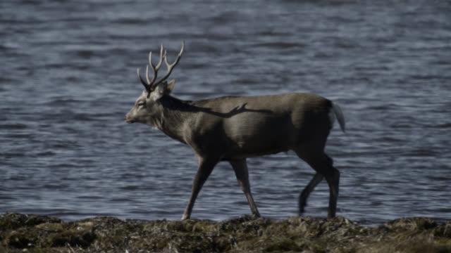 "vidéos et rushes de sika deer stag walks along coast, hokkaido, japan. - ""bbc natural history"""
