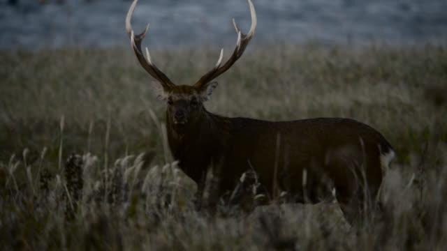 sika deer stag walks through grass, hokkaido, japan. - hokkaido stock videos & royalty-free footage