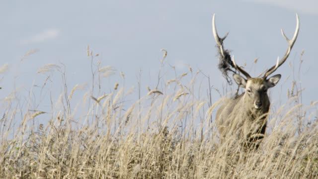 sika deer stag with decorated antler, hokkaido, japan. - gehörn stock-videos und b-roll-filmmaterial