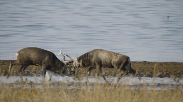 sika deer stags fight, hokkaido, japan. - 牡鹿点の映像素材/bロール