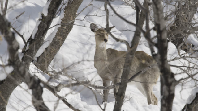 sika deer (cervus nippon) stands in snowy forest. - deer stock videos & royalty-free footage